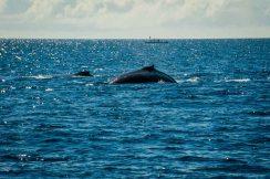 Whale watching off Uoleva