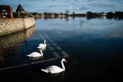 Swans at the Give Way sign