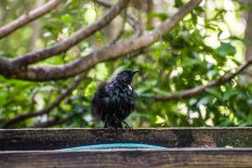 Tui taking a bath