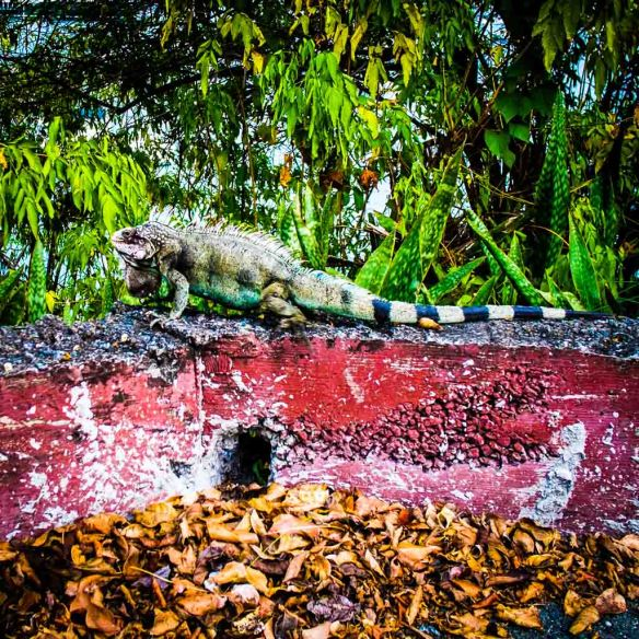 Iguana, St Thomas