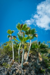 Pritchardia thurstonii - the locally endemic fan palm