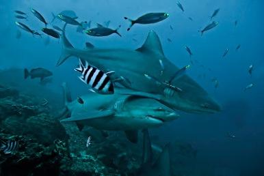 Bull shark 4685 -Edit-2