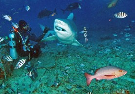 Carcharhinus-leucas-Bull-shark-Charcharhinidae-Beqa-Fiji-7621