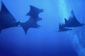 Manta_Ray_Group_600