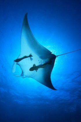 Manta_Ray_with_Remoras_600