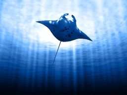 Manta_Ray_With_Sun_600